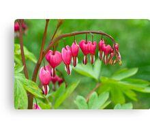 Bleeding Heart flower (Dicentra spectabilis) Canvas Print