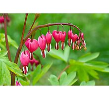 Bleeding Heart flower (Dicentra spectabilis) Photographic Print