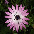 Osteospermum by Catherine Hamilton-Veal  ©