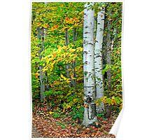 Birches - Sharbot Lake Ontario Poster
