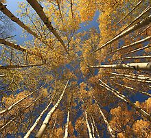 Kebler Pass Aspens II....iPhone case by Wojciech Dabrowski