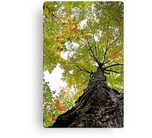 Looking Up A Gnarly Tree - Sharbot Lake Ontario Canvas Print