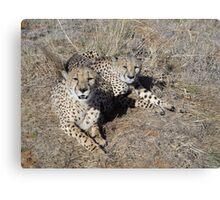 Cheetahs in south africa Canvas Print