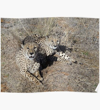 Cheetahs in south africa Poster