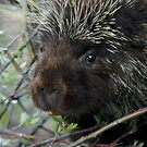 Porcupine Eating by Betsy  Seeton