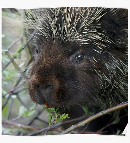 Porcupine Eating Poster