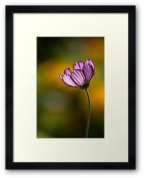 Cosmos on gold by Celeste Mookherjee