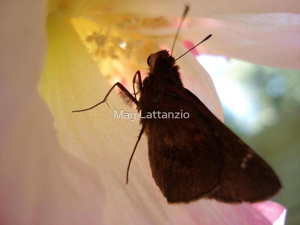 SKIPPER IN CONFEDERATE ROSE by May Lattanzio