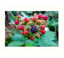 Blackberries Art Print