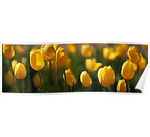 Spring Tulips, Victoria Poster