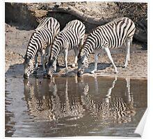 Three zebras Poster