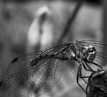 Dragonfly by kevinjconnolly