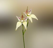 Karri Cowslip Orchid, Caladenia flava susp, sylvestris by Julia Harwood