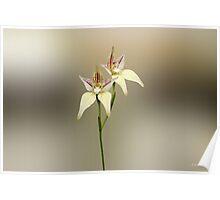 Karri Cowslip Orchid, Caladenia flava susp, sylvestris Poster