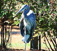 Great Blue Heron Standing Tall by AuntDot