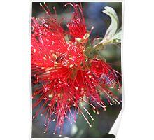 bottle brush in bloom Poster