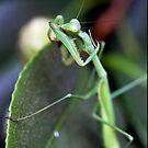 Mantis Bath time - iPhone case by Michelle Dewis