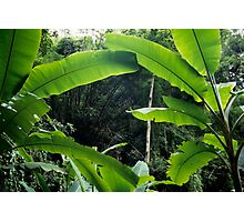 Thailand, banana trees (Musa sp.) in jungle Photographic Print