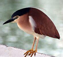 Black Crowned Heron by Scott  Cook