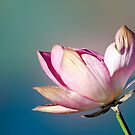 Lotus Flower by Jenny Dean