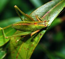 Green Speckled Bush Cricket 2 by Hugh Coleman