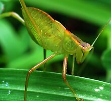 Green Speckled Bush Cricket 4 by Hugh Coleman