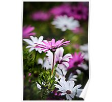 Blue Eyed Daisy Poster