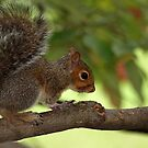 Young Squirrel by Bine