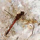 Common Darter by Neil Bygrave (NATURELENS)