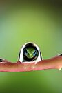 Treefrog in droplet by jimmy hoffman