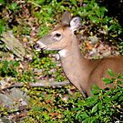 Fawns on the Way? by Imagery