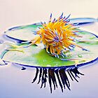 Waterlilly Magic by Kate Wall