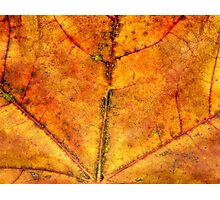 Detailed Fall Maple Leaf Texture 4 Photographic Print