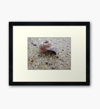 Nantucket Snail Shell Framed Print
