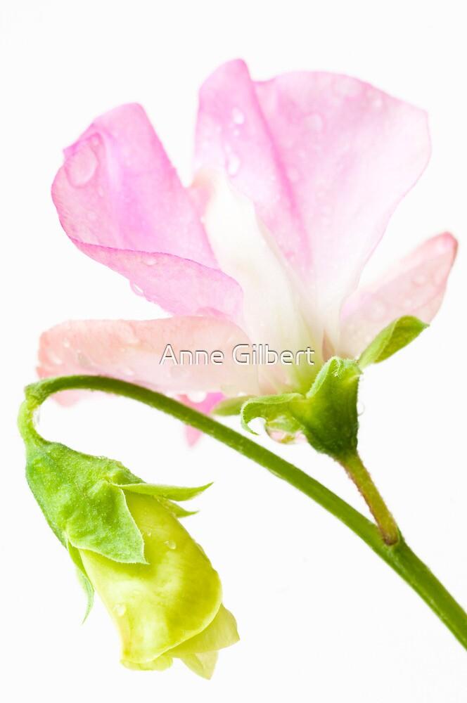 Sweet Pea 'Geranium Pink' by Anne Gilbert