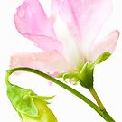 Sweet Pea &#x27;Geranium Pink&#x27; by Anne Gilbert