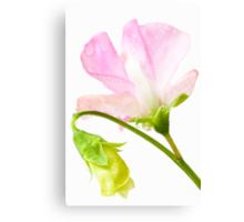 Sweet Pea 'Geranium Pink' Canvas Print