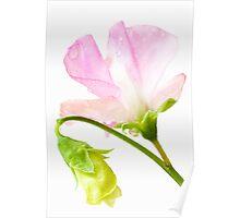Sweet Pea 'Geranium Pink' Poster
