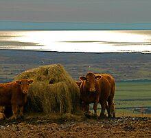 Moo Cows by Halina-Pokoj