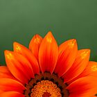 Gazania Rising by Anne Gilbert