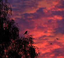 Coming in to roost by missmoneypenny