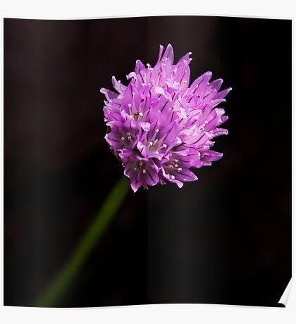 Garlic Chives Flower Poster
