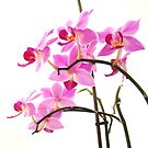 Pink Orchids  by artddicted