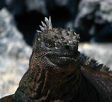 Marine iguana at Punta Espinoza by jmccabephoto