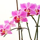 Pink Orchids III by artddicted