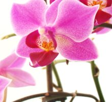 Pink Orchids III Sticker