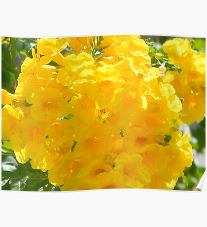 Blooming Now - A Trumpet Flower Poster