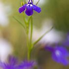 Blue Lobelia by Mandy Disher