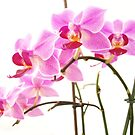 Pink Orchids IV by artddicted