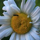 Dazzed Daisy by RockyWalley
